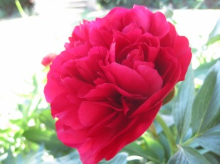 For Viveka- who loves peonies
