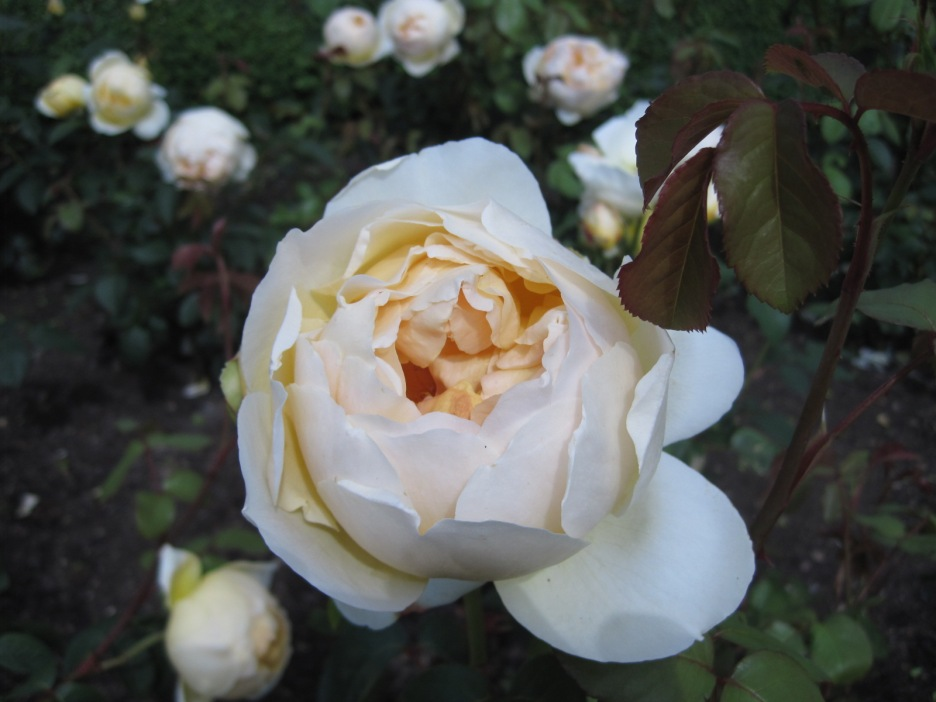 And Jude- because what's more beautiful than a rose?