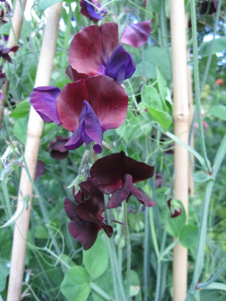 And for Viv- who's a sweet pea
