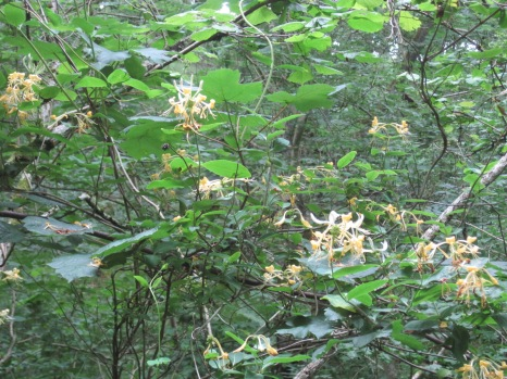 Although the honeysuckle is more of a creamy colour