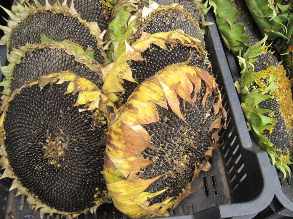 Sunflower heads on the market