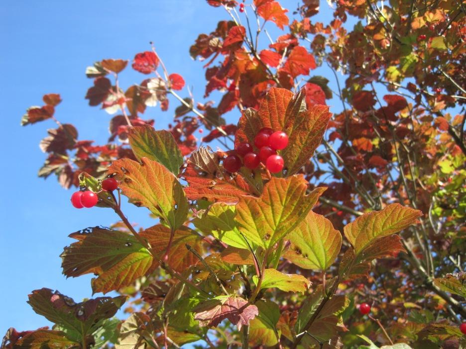 And Rowan berries