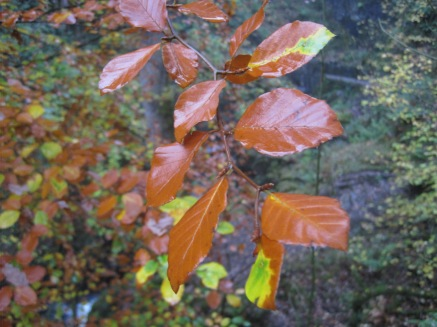 The leaves glistening with rain
