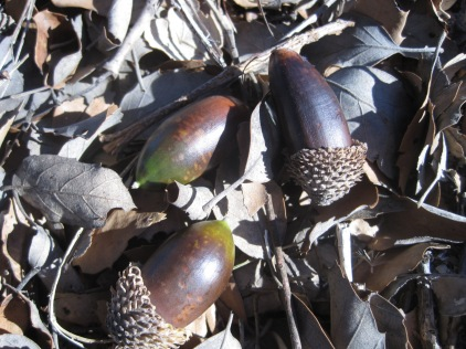 Acorns from the Holm Oaks were our chief companions