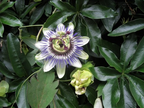 Passionflowers