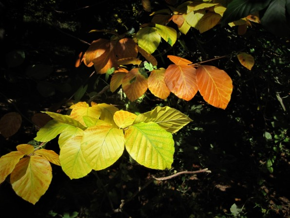 Autumn leaves, brilliant in the shade