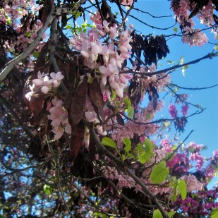 Carob blossom