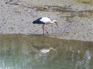 Mr. Stork goes fishing in Silves